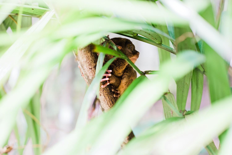 Tarsier Affen auf Bohol